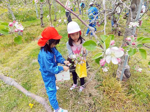 毎年、りんごの花が満開になる時期には、花摘み作業を体験する
